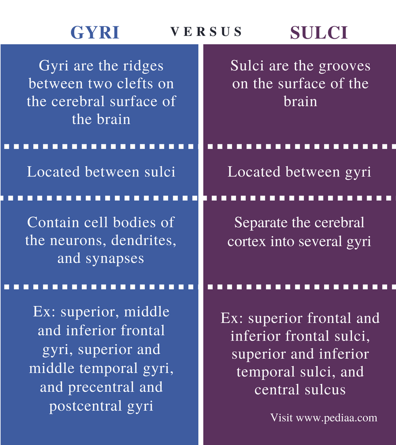 Difference Between Gyri and Sulci | Definition, Anatomy ...