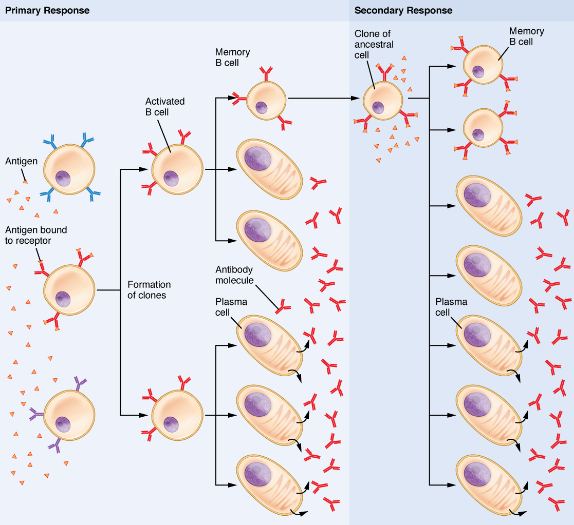 Difference Between Primary And Secondary Immune Response