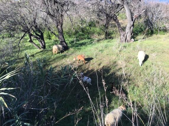 goats_3421