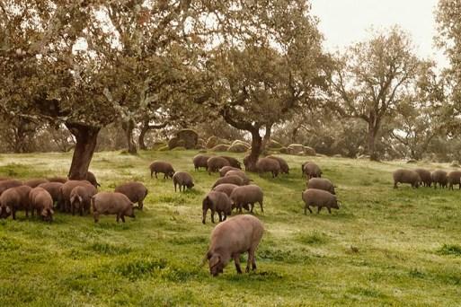 Cerdos en la montanera3