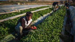 La verdad detrás del florecimiento alimentario en Siria - La verdad detrás del florecimiento alimentario en Siria