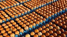 Que pérdida 77 millones de huevos fueron destruidos en Bélgica - ¡Que pérdida! 77 millones de huevos fueron destruidos en Bélgica