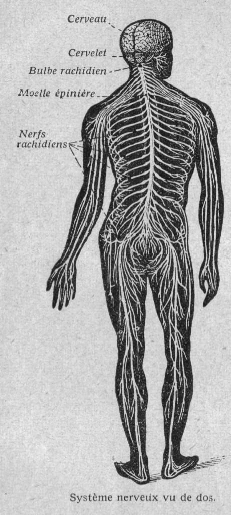 Image (118) - Systeme nerveux chez l Homme (vue de dos)