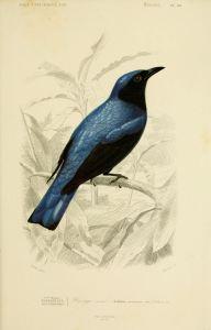 Gravure_oiseau_0183_dronge_azure_-_edolius_caerulescens_-_passereau