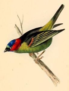 687px-Thraupis_cyanocephala_1841