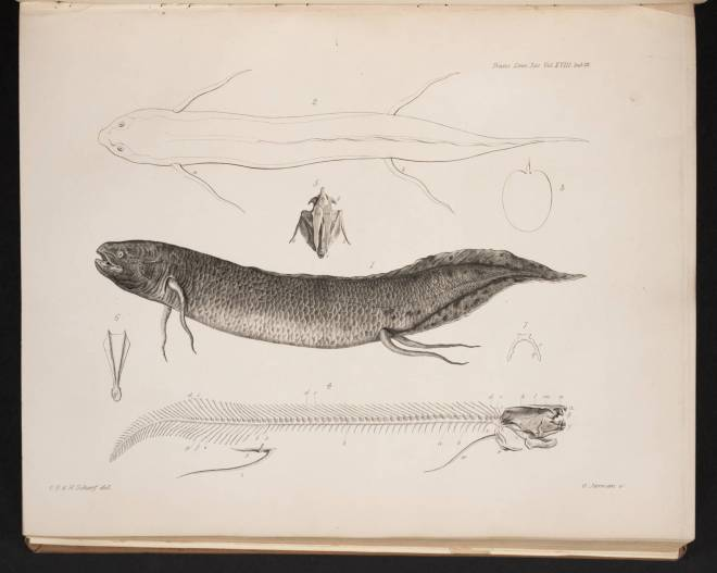 Owen_Richard_1841_Description_of_the_Lepidosiren_annectens_Plate_23_foll_page_361