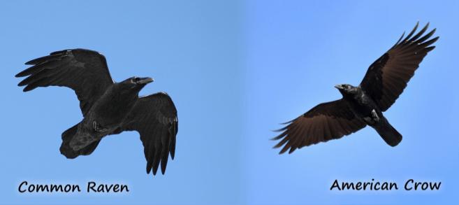 Raven_Crow_Comparison