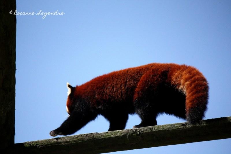 Panda roux au Parc Zoologique de Thoiry | Photographer : Roxanne Legendre