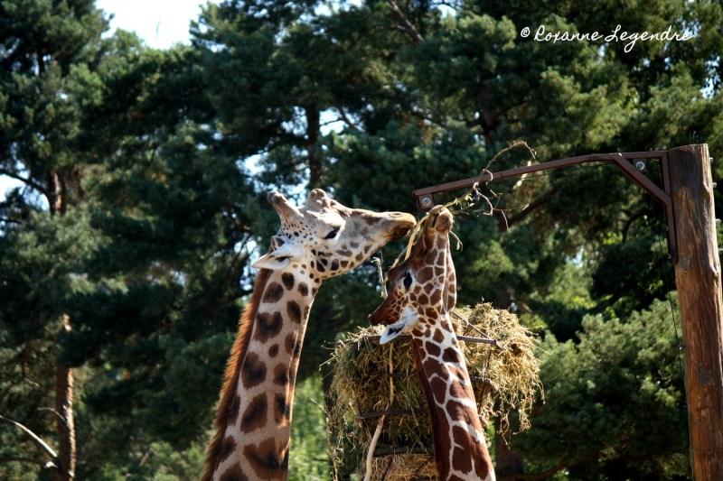 Girafes au Parc Zoologique de Thoiry | Photographer : Roxanne Legendre