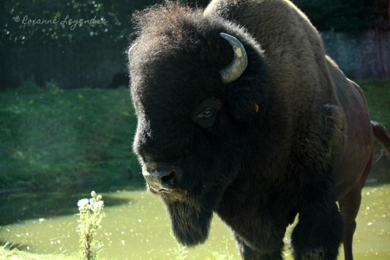 Bison au Parc Zoologique de Thoiry | Photographer : Roxanne Legendre