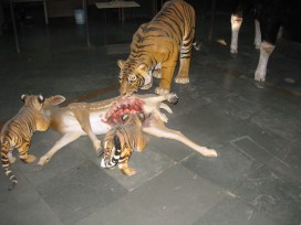 03.9 tiger with kill