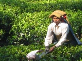 10.4 tea picker