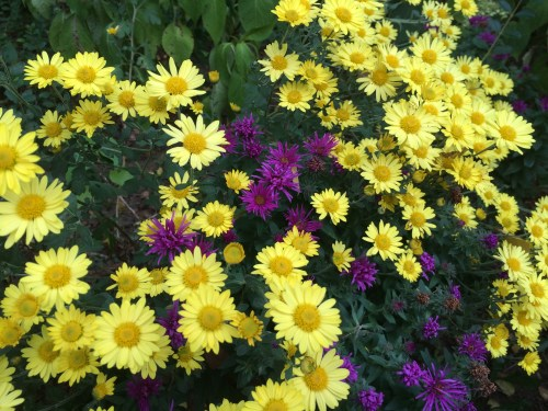 mums & asters