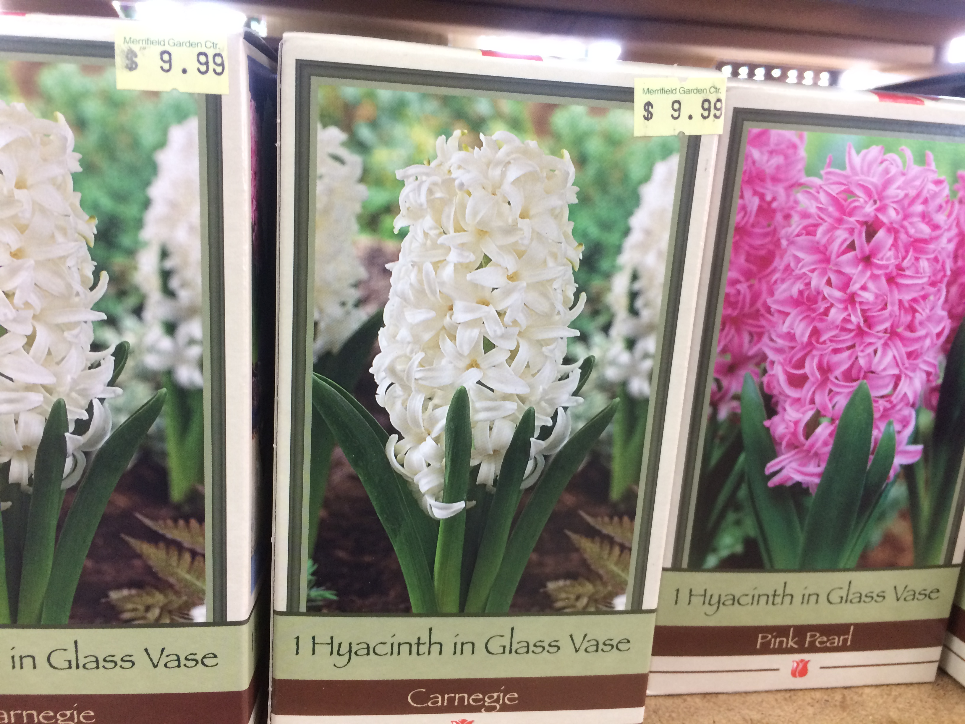 Hyacinths easy indoor winter blooms pegplant november2014hyacinthamaryllis 121 box of hyacinth bulbvase merrifield garden center reviewsmspy