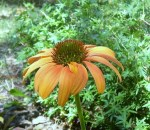 Echinacea or Coneflower