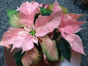 december2015poinsettia 007