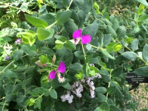 sweet pea shrub (2)