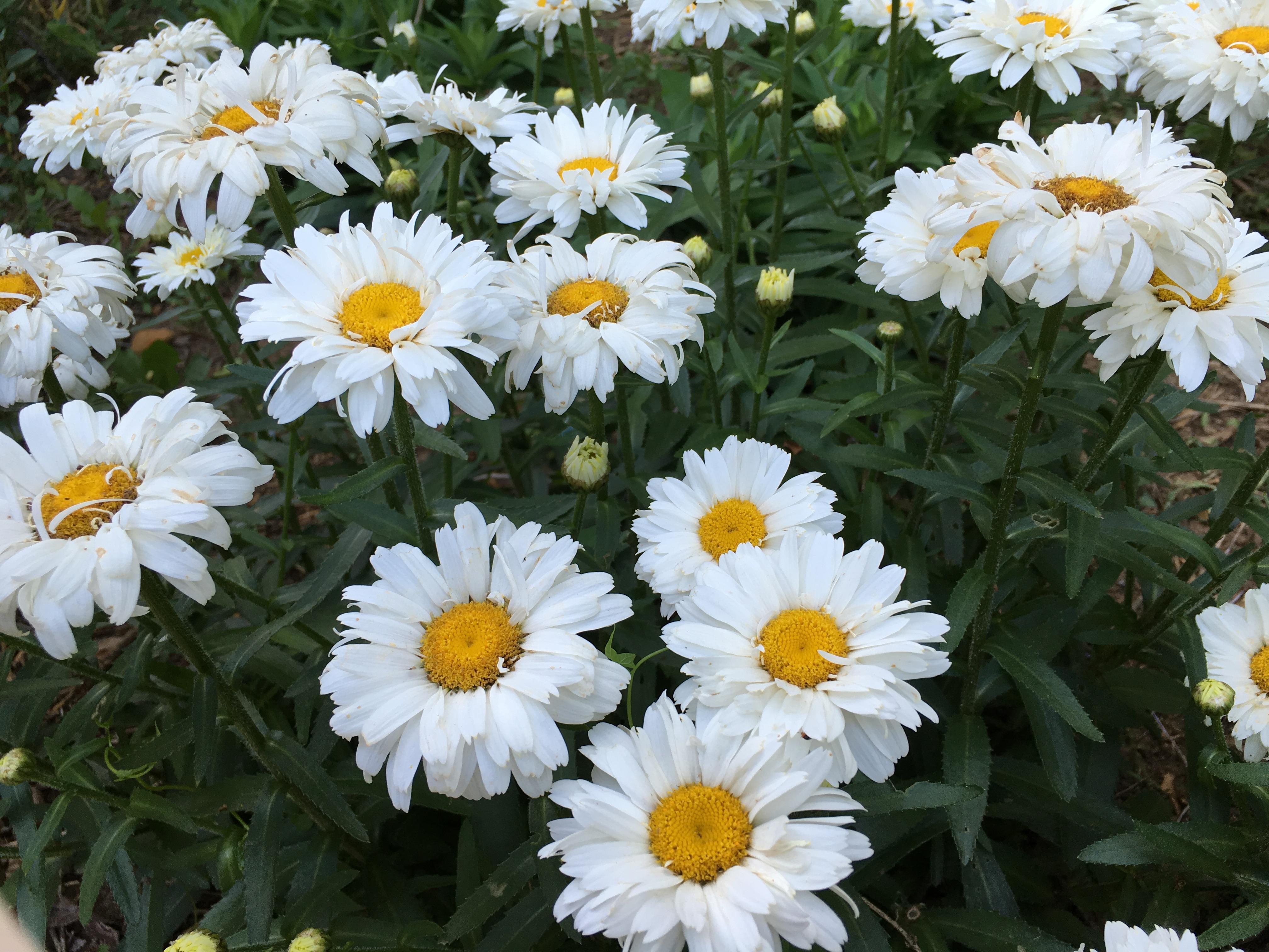 Garden Bloggers Bloom Day Shasta Daisies Pegplant