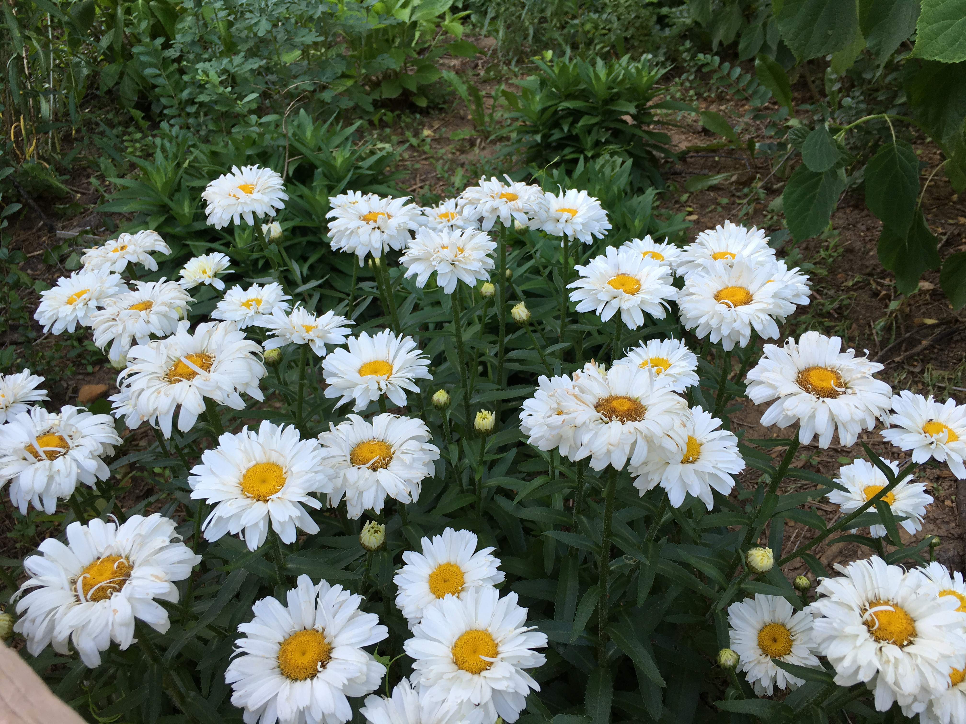Garden bloggers bloom day shasta daisies pegplant daisies can bloom from may to september cultivars vary in the number and arrangement of the outer white petals from a simple single row to a double izmirmasajfo