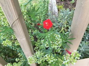 Cardinal climber among oregano and sage