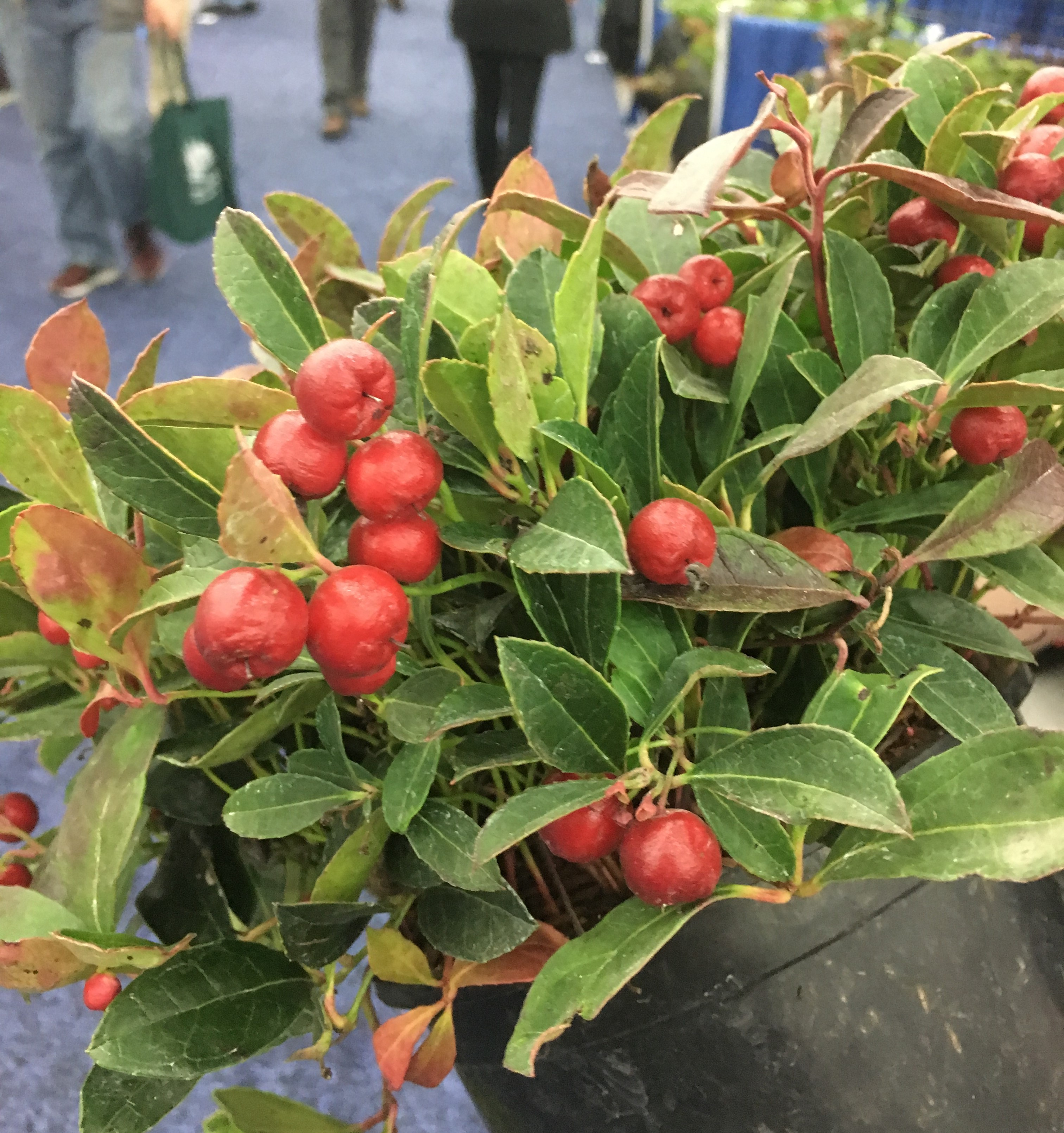 New Cultivars of Wintergreen for Bright Red Berries - pegplant