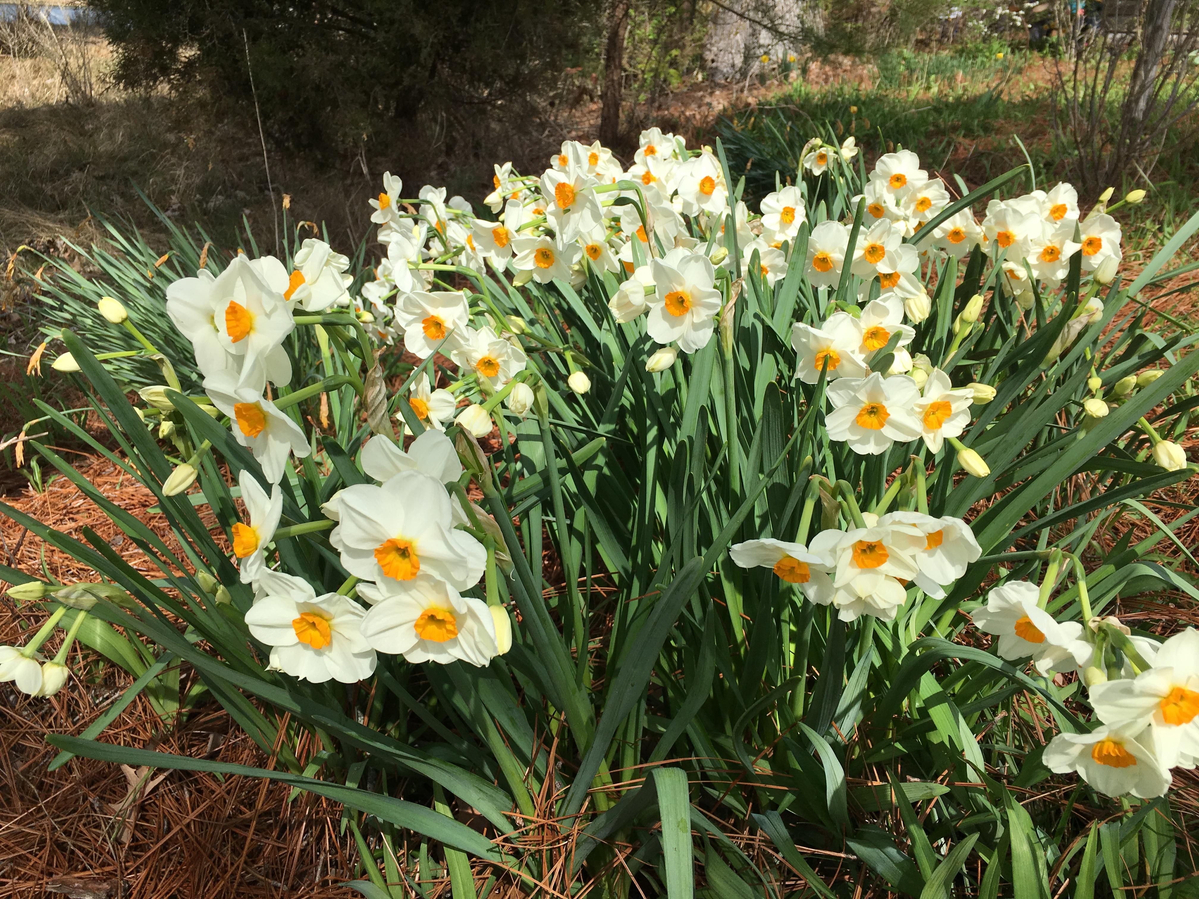 Deer Resistant Spring Blooming Bulbs To Plant Pegplant
