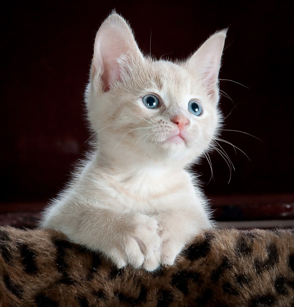 Photo chat blanc