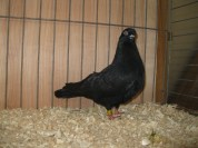 Reserve Pigeon