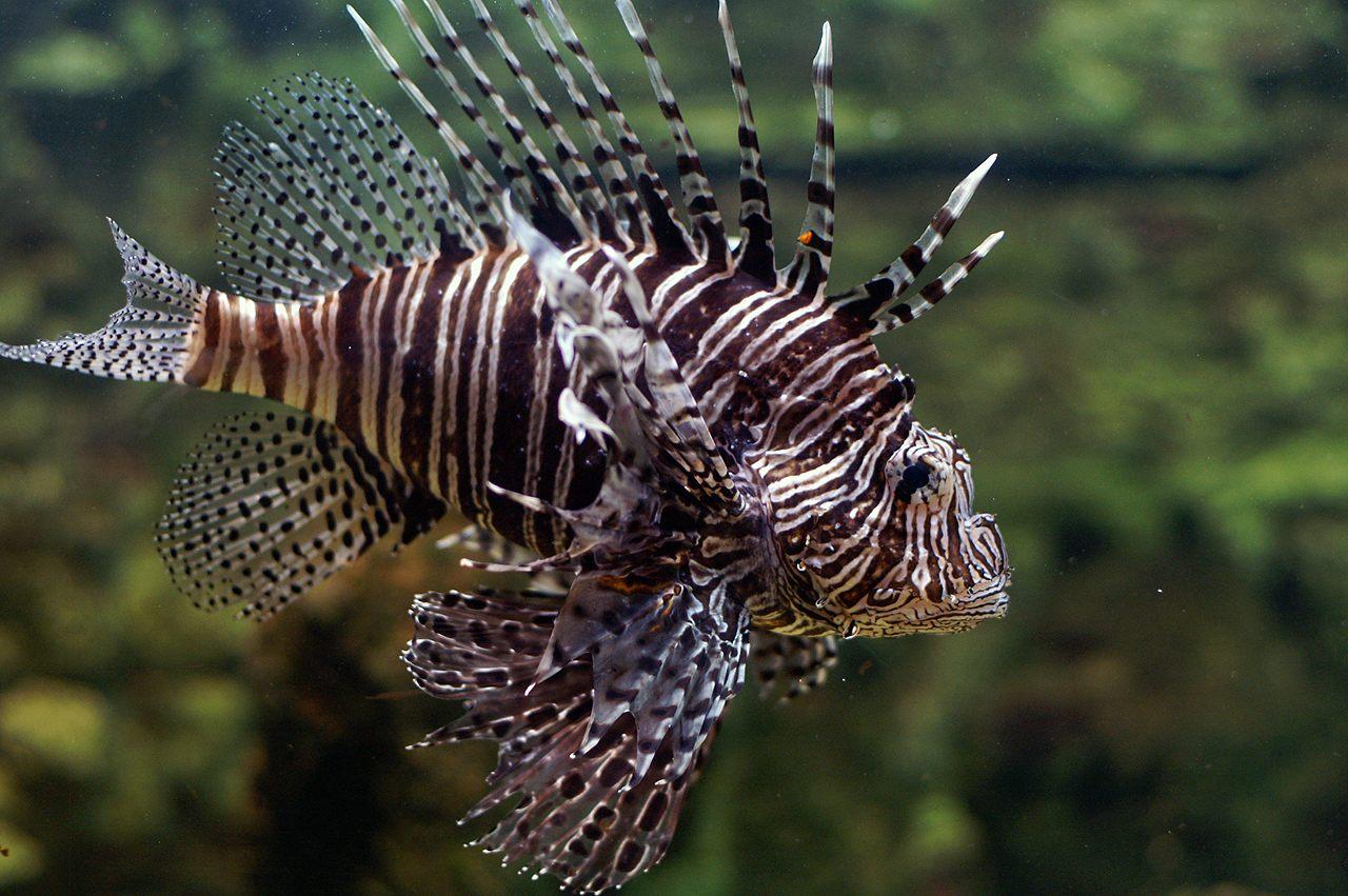 Espécie Peixe-leão