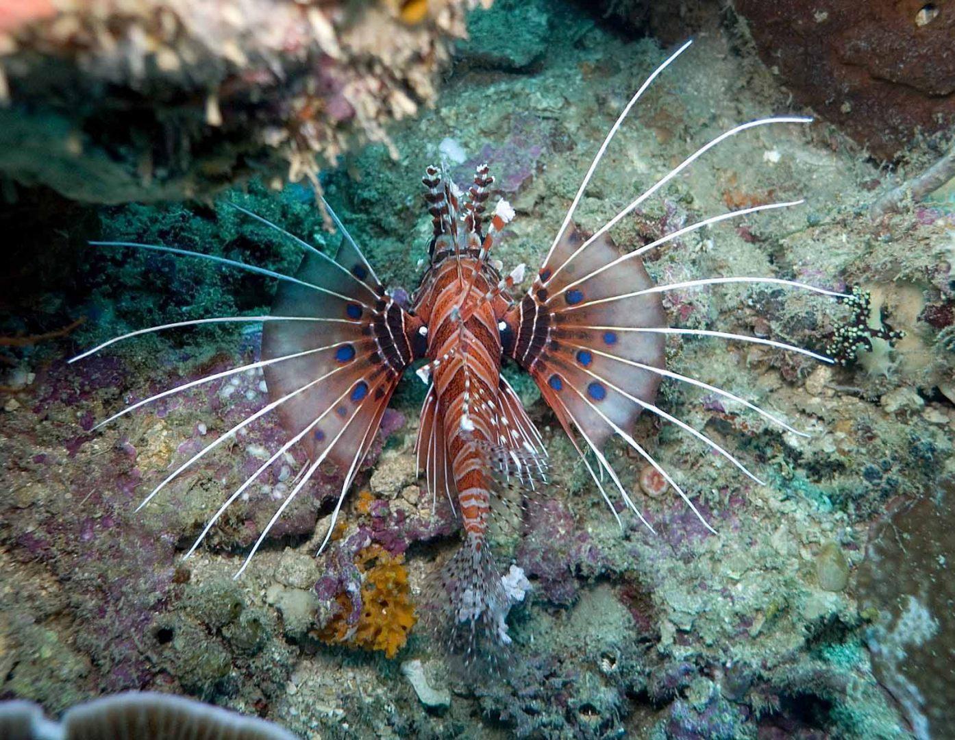 Peixe Pterois volitans