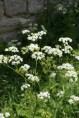 flowers in Voskopoje