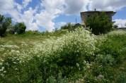 wild flowers, Voskopoje