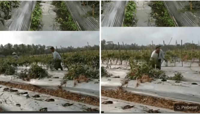 Petani Hancurkan Tanaman Cabai
