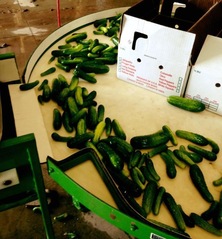 Pickling Cucumbers.jpg