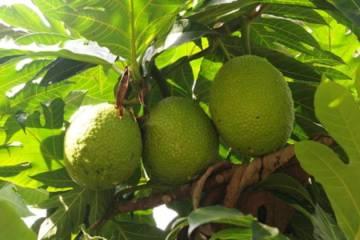 Breadfruit