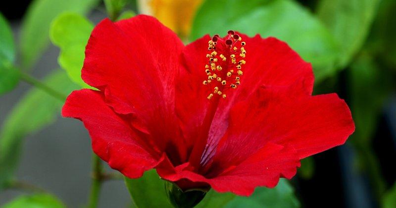 Pengisytiharan Bunga Raya Sebagai Bunga Kebangsaan Pekhabar
