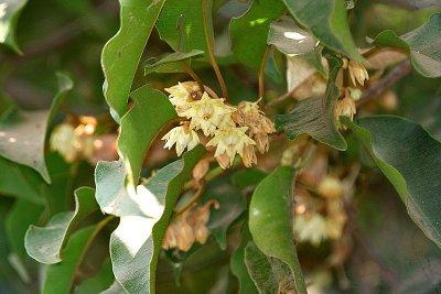 bunga_tanjung