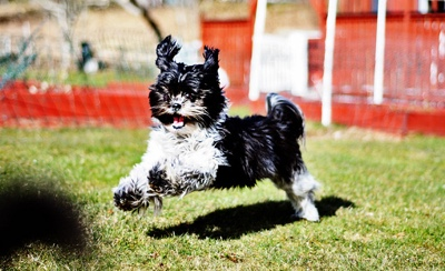 happy playful black and white shih tzu dog