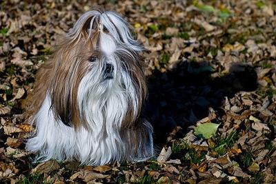 shih tzu dog face coat fur