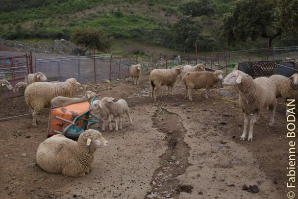 Après le cochon, voici le mouton ! © Fabienne Bodan