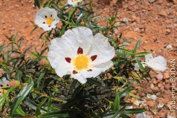 La Via de la Plata est un très beau chemin de nature, et, je l'imagine, particulièrement au printemps. Ici une belle fleur de Ciste.