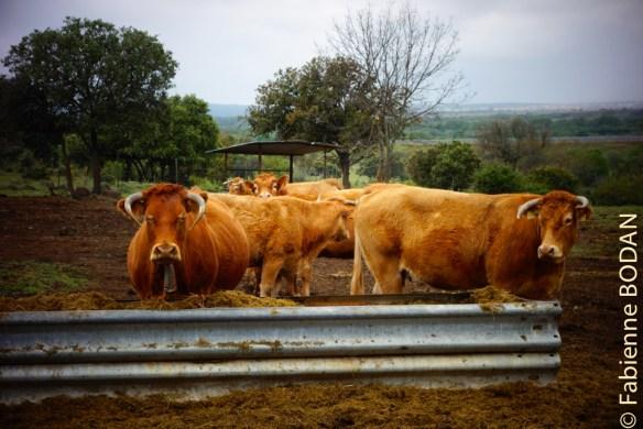 La Via de la Plata se révèle un magnifique chemin de nature. Les vaches sont curieuses de tous ces humains qui défilent avec leur besace sur le dos. © Fabienne Bodan