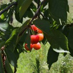 Cerisiers du Bierzo