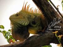 Macho de Iguana verde (Gallina de palo)
