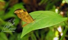 Dismorphia spio — en Bosque Toro Negro.