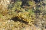 Aplysia datylomela (Spottted Sea Hare)