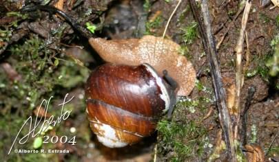 Molusco gasterópodo (Polydontes luquillensis)