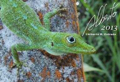 Anolis evermani Bosque Nacional El Yunque