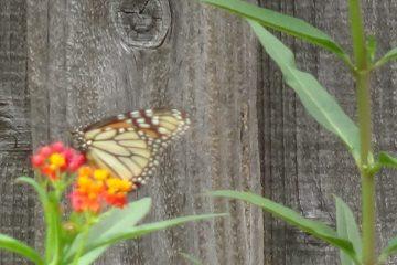 Monarch Butterfly Garden