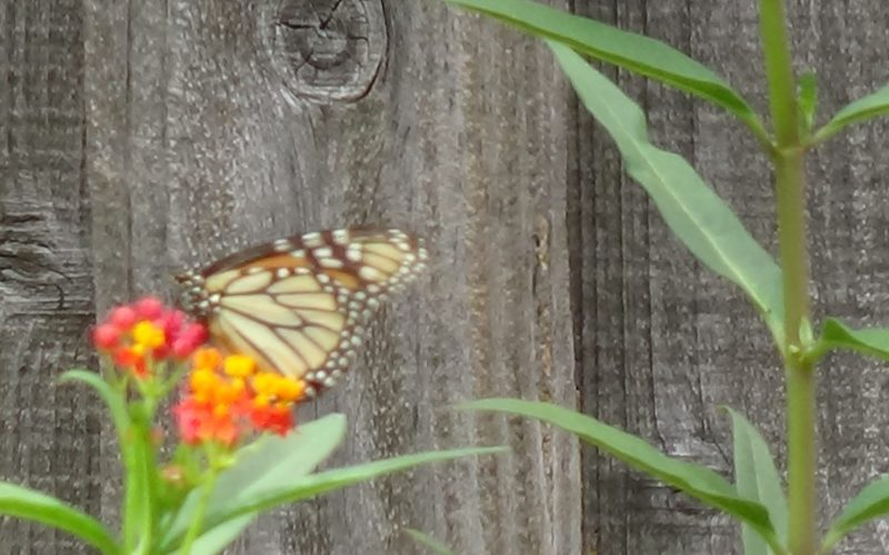 Monarch Butterfly on Milkweed Blossom
